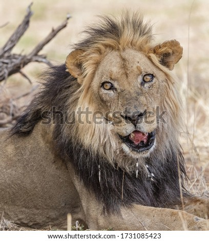Old male lion with damaged lip and with porcupine quills in skin facing camera