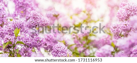 Panoramic view to spring background art with Purple lilac flowers at the blue sky background. Beautiful spring background. Copy space.