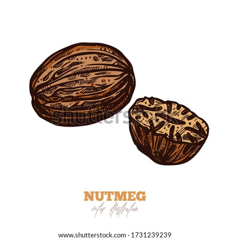 Isolated vector dry nutmeg on white. Spices sketch illustration Royalty-Free Stock Photo #1731239239