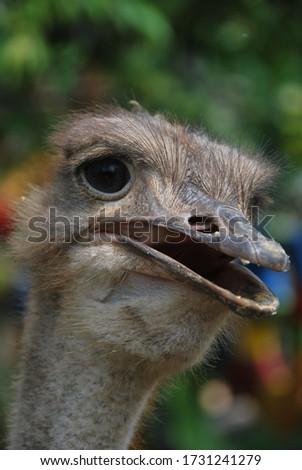 """The """"Ostrich"""" birds in their habitat #1731241279"""