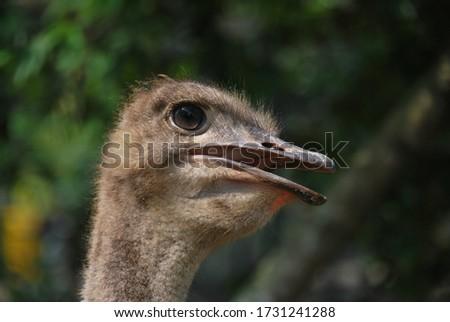 """The """"Ostrich"""" birds in their habitat #1731241288"""