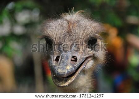 """The """"Ostrich"""" birds in their habitat #1731241297"""
