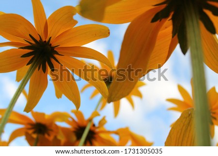 Under beautiful sunflowers with a light blue sky and fluffy clouds. The one yellow flower is in focus, and the stems gradually get out of focus to show perspective. #1731305035