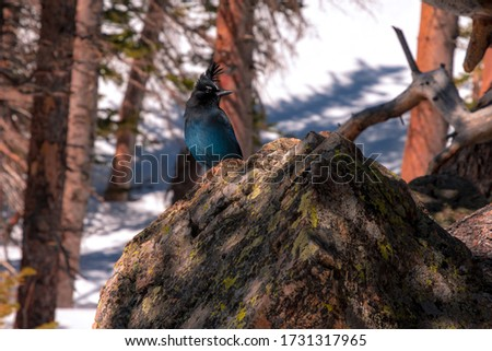Steller's Jay bird perched on a rock in a winter landscape in the Rocky Mountain National Park near Estes Park, Colorado #1731317965