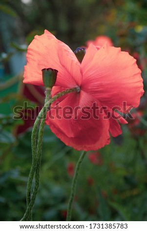 Green poppy seed box on long green stem with blurry background of pink flower backside. Summer blooming poppies with flower and seed pod closeup #1731385783