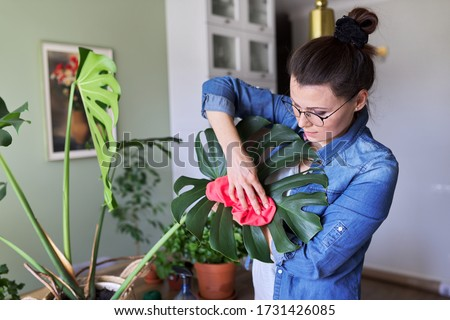 Urban jungle, indoor potted plants, woman caring for monstera leaves. Female cleans dust from leaves with rag and water. Home gardening, houseplant, hobby and leisure #1731426085