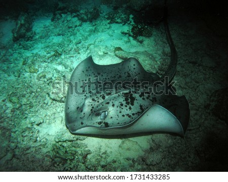 Black-blotched stingray in Arabian sea, Baa Atoll, Maldives, underwater photograph