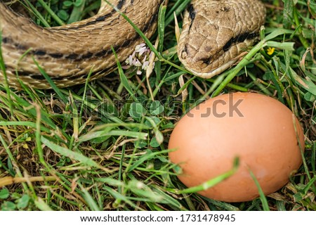 Snake egg eater species,predator reptile eye,skin details,cervone serpents Royalty-Free Stock Photo #1731478945