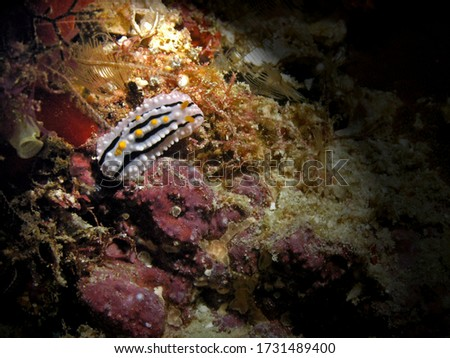 Varicose wart slug, nudibranch in Arabian sea, Baa Atoll, Maldives, underwater photograph