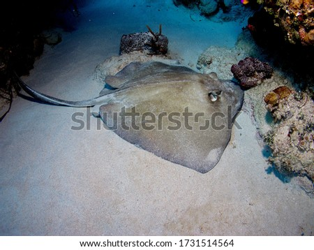 Caribbean whiptail stingray in Bay of Pigs, Cuba, underwater photograph