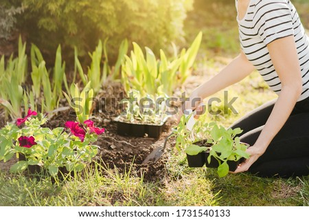 A young woman planting petunia flowers in the garden. Gardening, botanical concept. Selective focus. #1731540133