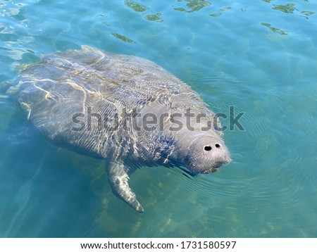 Manatee in Clear Blue Spring Water