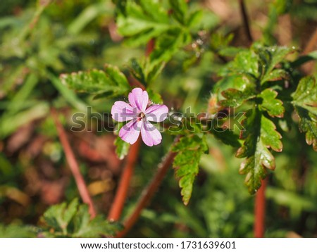 Geranium Robertianum or wild Herb Robert small, light pink, five-petalled flower with deeply dissected leaves. Mediterranean Storksbill is herbaceous flowering plant in the Geranium family Geraniaceae #1731639601