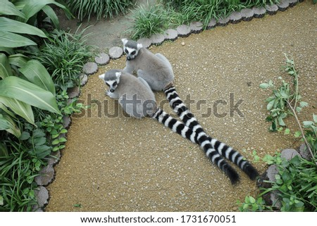Pictures of cute ring-tailed lemur