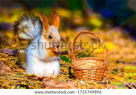 Squirrel sit at small basket. Squirrel in nature. Squirrel portrait