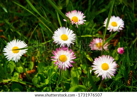 Flowering of daisies. Oxeye daisy, Leucanthemum vulgare, Daisies, Dox-eye, Common daisy, Dog daisy, Moon daisy Gardening concept #1731976507