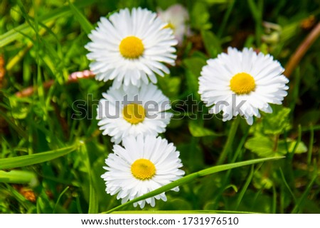 Flowering of daisies. Oxeye daisy, Leucanthemum vulgare, Daisies, Dox-eye, Common daisy, Dog daisy, Moon daisy Gardening concept #1731976510