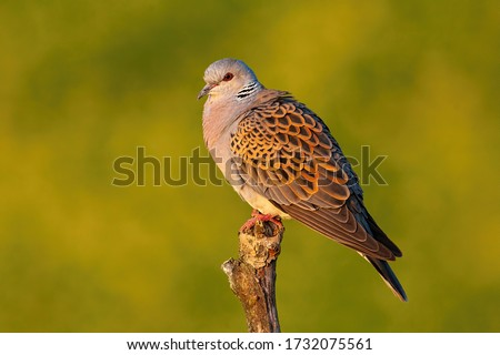 European turtle dove, streptopelia turtur, sitting perched on branch with blurred yellow background in summer at sunset. Side view of bird with grey and brown patterned feathers in nature. #1732075561