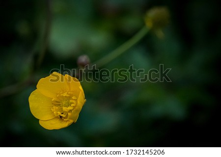 Ranunculus acris - meadow buttercup, tall buttercup, common buttercup, giant buttercup. Yellow flower close-up. Macro flowers. Photo taken in the Netherlands, Europe. #1732145206