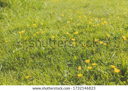 Ranunculus acris - meadow buttercup, tall buttercup, common buttercup, giant buttercup. Photo taken in the Netherlands, Europe. #1732146823