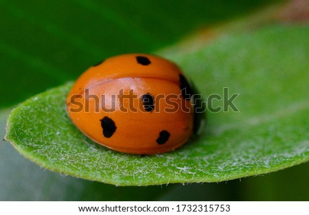 Little Lady- a texturally pleasing picture. A shiny,reflectant ladybug against a rough,hairy leaf.