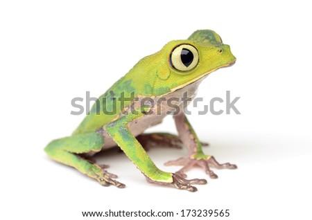White-lined leaf frog (Phyllomedusa vaillanti) #173239565