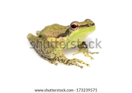 Amazonian skittering frog (Scarthyla goinorum) #173239571