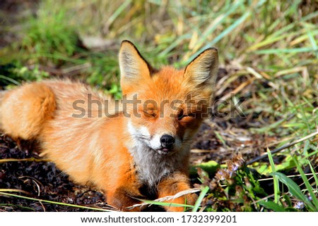 This is a picture of a fox resting in jungle.