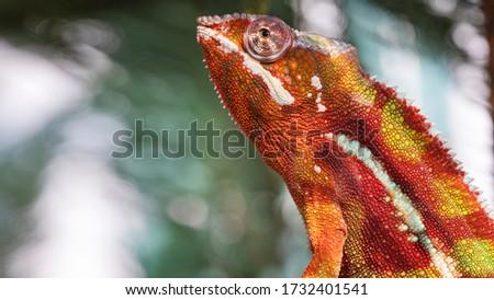 Chameleon furcifer pardalis ambilobe panther chameleon sitting on tree branch. Close up chameleon panther on nature background. #1732401541