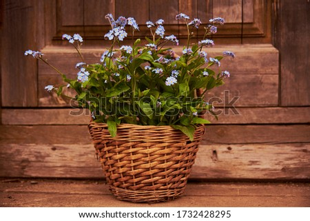 Wicker basket with a bouquet of forget-me-nots on a wooden background. Spring backdrop.