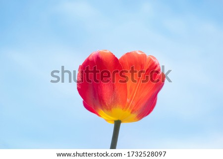 Red tulip on the background of bright blue sky with light clouds. The concept of summer flowering, growing flowers, gardening. Image suitable for posters, postcards, photo pictures.