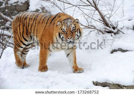 Beautiful wild siberian tiger on snow #173268752