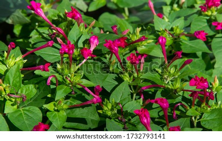 Mirabilis is a genus of plants in the family Nyctaginaceae known as the four-o'clocks or umbrellaworts. The best known species may be Mirabilis jalapa, the plant most commonly called four o'clock. #1732793141