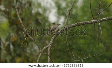 Northern Mockingbird in the backyard in springtime.