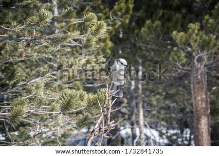 Gray Jay bird perched on the branch of a tree in a winter scene in the forests of Rocky Mountain National Park near Estes Park, Colorado #1732841735