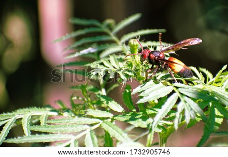 An Asian Hornet or a yellow legged hornet in North East India