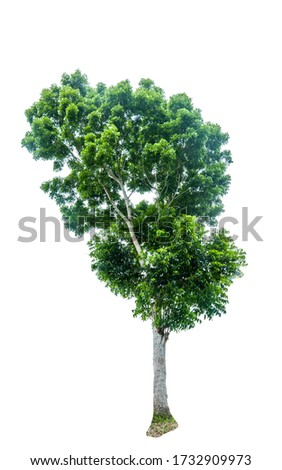 Picture of tropical trees of rain forest Place on a white background. Is a tree in Thailand and Clipping path included