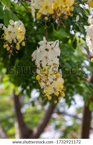 Selective focus beautiful Cassia Fistula flower blooming in a garden.Also called Cassia x nealiae,Golden Shower,Purging Cassia or Indian laburnum. #1732921172