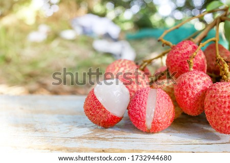 Fresh lychee on the tree in the Thai garden,Fresh lychee on a blue wooden backdrop,Harvesting lychee for sale #1732944680