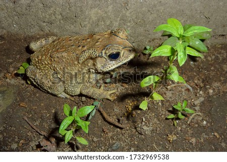 Asian common toad, Asian toad or black-spectacled toad (Duttaphrynus melanostictus) Bali, Indonesia