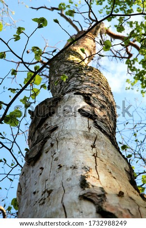 View along trunk of tree attacked/destroyed by scolytinae beetle / bug. Bark is missing in some parts and we can see holes in the wood. Big environmental issue in the central Europe. #1732988249
