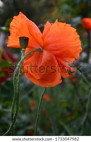 Green poppy seed pod on long green stem with blurry background of red flower petals backside. Summer blooming poppies closeup #1733047982