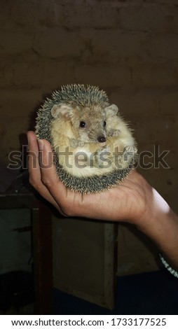 Picture of a Hedgehog on a hand