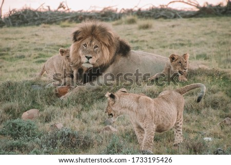 most beautiful picture of lions