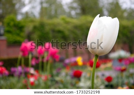tulips pictures from Tulip Festival Amsterdam