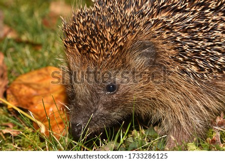 Closeup picture of spiny European common hedgehog (Erinaceus europaeus), photographed in southern Germany at night