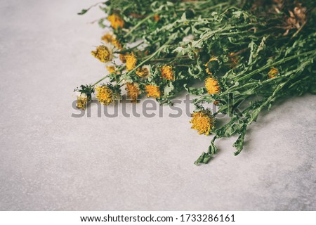 Dried dandelion plants on a light gray background. Beautiful wallpaper. Organic healthy herbs. Taraxacum officinale, the common dandelion. Copy space for text. #1733286161
