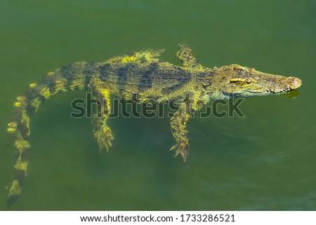 Crocodiles bask in the sun. Crocodiles in the pond. Crocodile farm. Cultivation of crocodiles. Crocodile sharp teeth. #1733286521