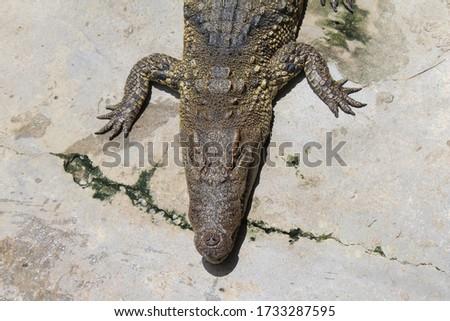 Crocodiles bask in the sun. Crocodiles in the pond. Crocodile farm. Cultivation of crocodiles. Crocodile sharp teeth. #1733287595