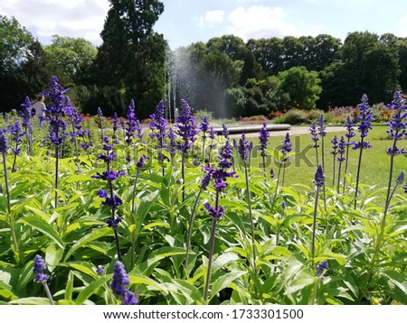 Picture of a lavender bush with a fountain in the background.